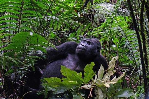 Uganda-Gorillas-Breitengrad53-Reiseblog-Jutta-Lemcke-SCF2441_korr