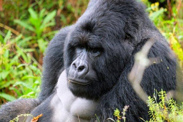 Uganda-Gorillas-Breitengrad53-Reiseblog-Jutta-Lemcke-SCF6077_korr1