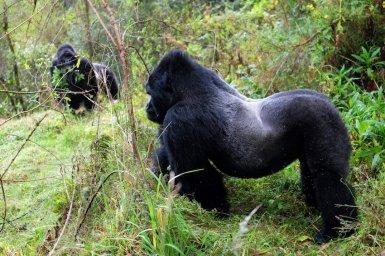 Uganda-Gorillas-Breitengrad53-Reiseblog-Jutta-Lemcke-SCF6105_korr1