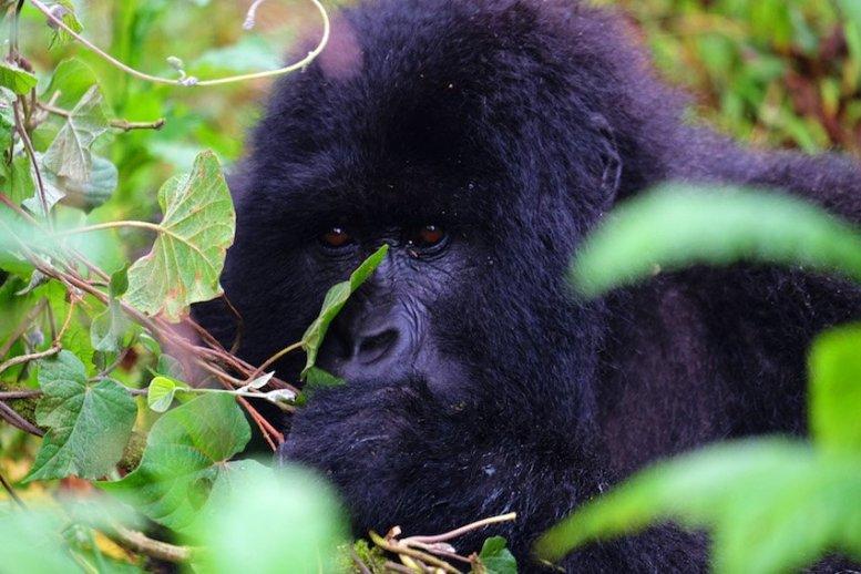Uganda-Gorillas-Breitengrad53-Reiseblog-Jutta-Lemcke-SCF6114_korr1