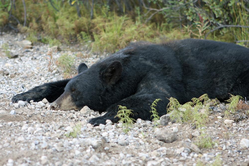 Leider war dieser Schwarzbär am Straßenrand tot
