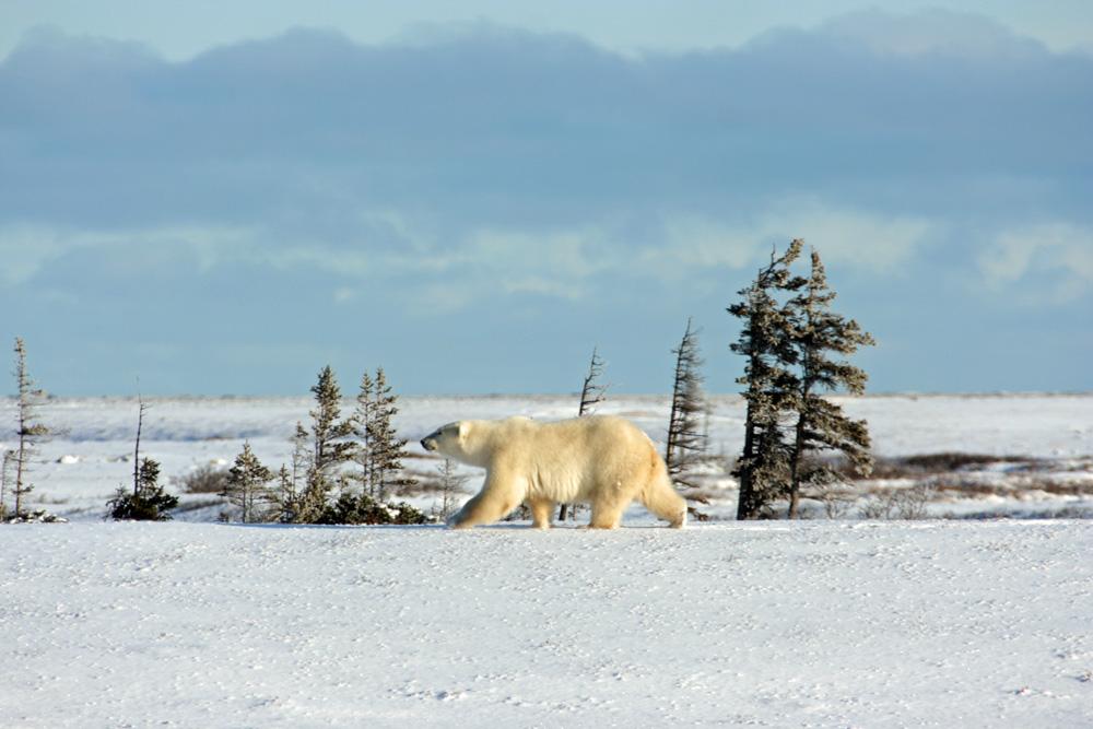 Schon als Kind war ich fasziniert von den endlosen Weiten im hohen Norden. In der Tundra einen Eisbär beobachten, ist ein Traum