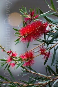 Bottlebrush, Red, Tasmania, Tree