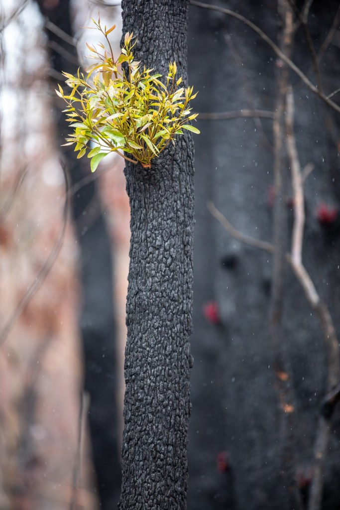Tree coming back after the 2020 bushfires