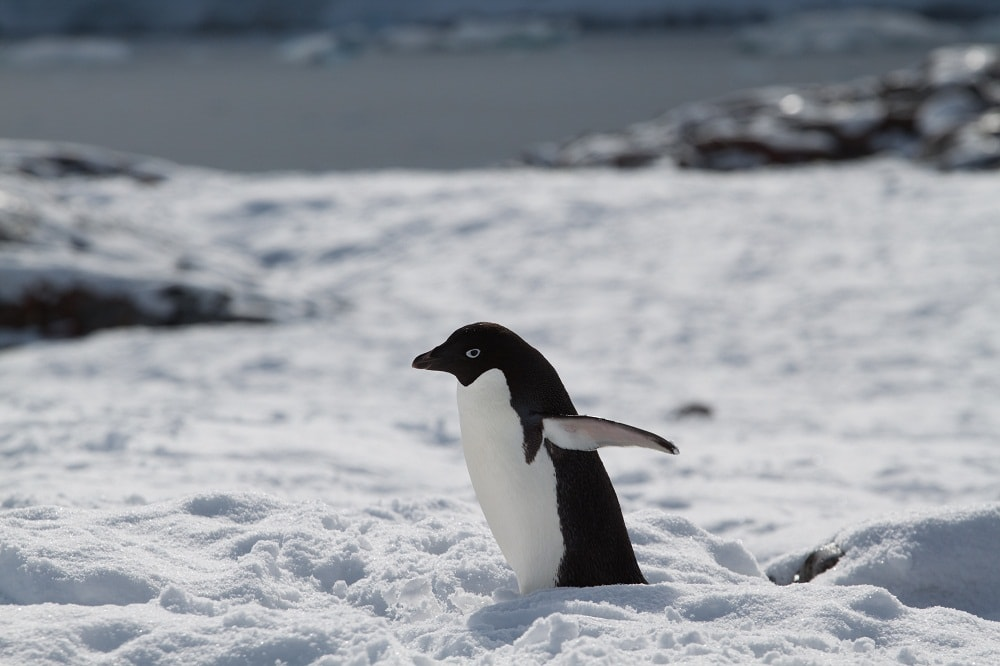Adelie Penguin photo by Brendan Van Son