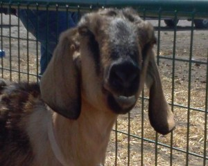 Cookie a cute Grandma goat!