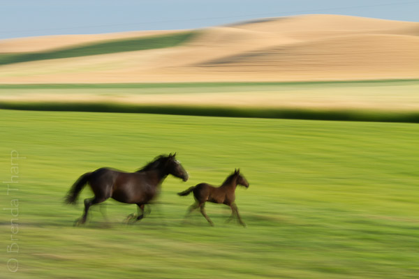 Horses on the run in Palouse Country