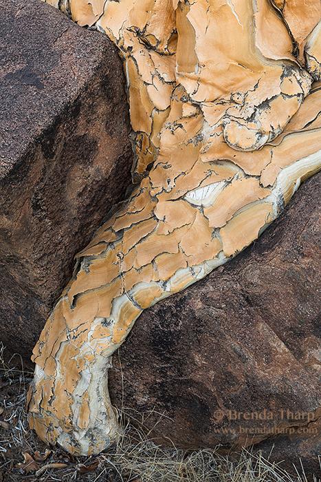 Tharp_Namibia quiver tree root