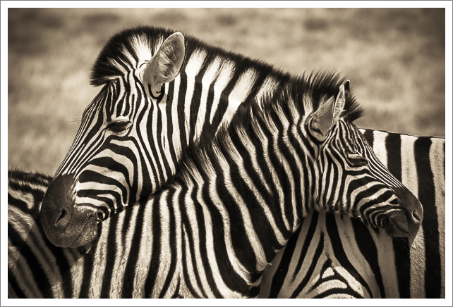 Two zebras necking, Africa.