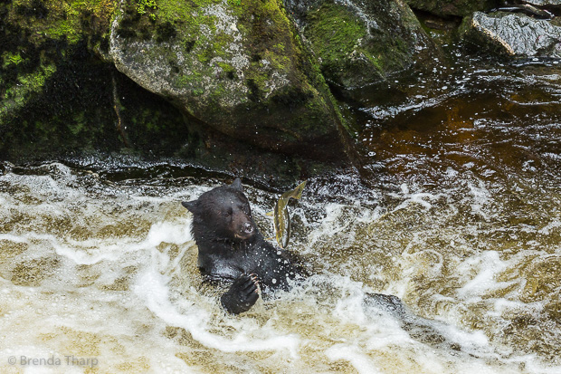 Black Bear Fishing with Style