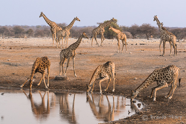 A Journey of Giraffes in Namibia
