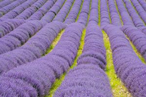 026_LavenderRows_C6A8837