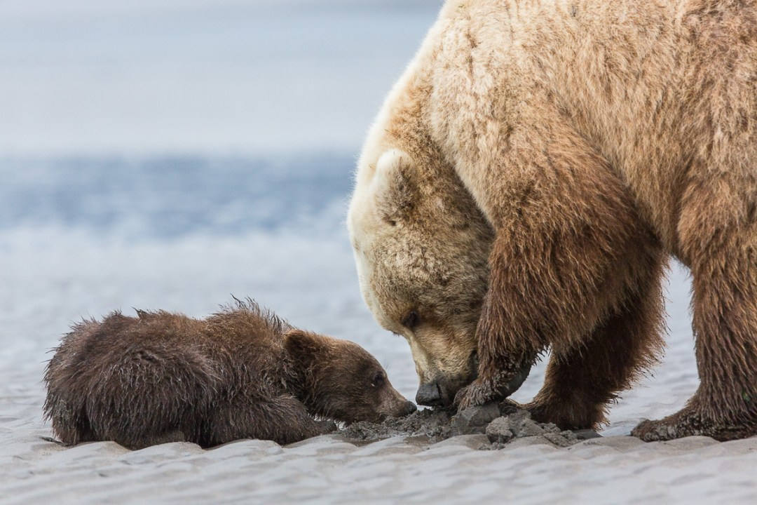 Adult grizzly bear and cub clamming.