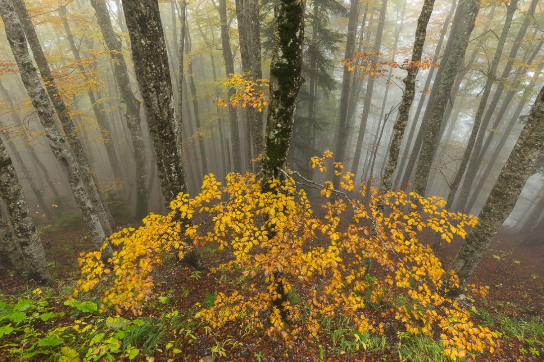 Beech tree forest, Slovenia.