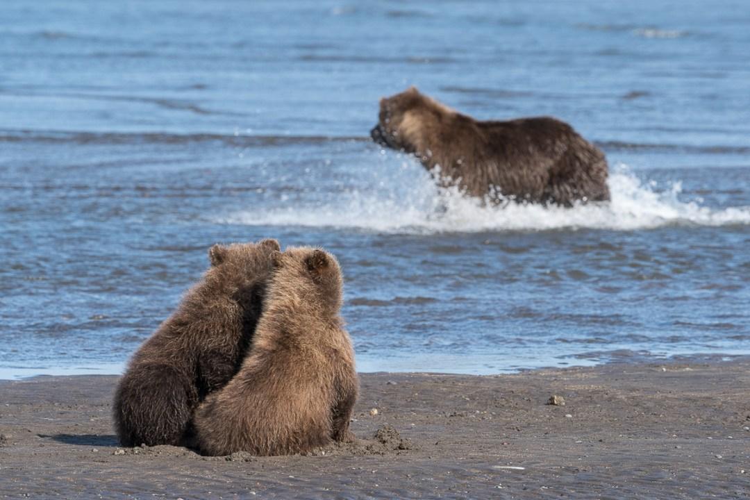 Bear Cubs learning to fish, Alaska.