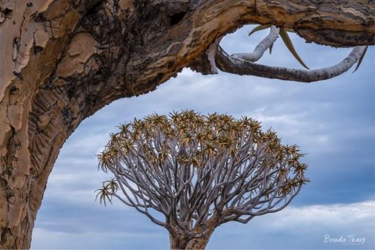 Giant Aloe, aka Quiver Tree, Namibia