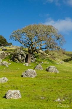 Stately Oak and Rocks, California