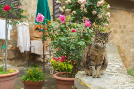 Cat on a wall in San Gimignano, Italy.