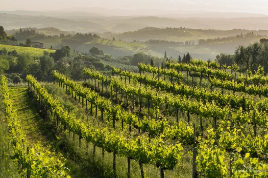 Backlit grapevines in central Tuscany.