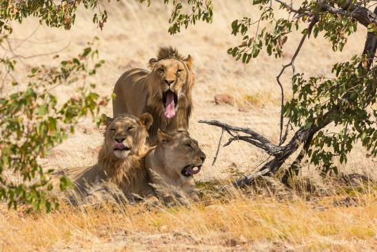 A group of male lions yawning