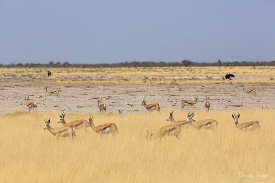 Springbok herd foraging in grasses.