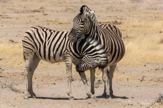 Zebras family.