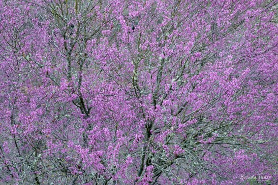 Redbud trees in full bloom, California.