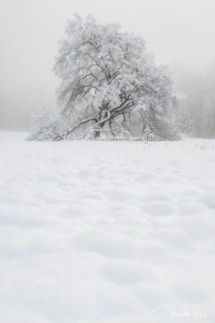 Stately Elm in Snow, Yosemite.