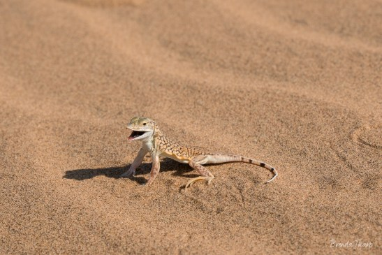 Shovel snouted lizard with mouth open.
