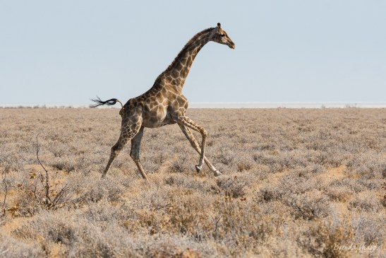 Running giraffe, Etosha's Pan, Namibia