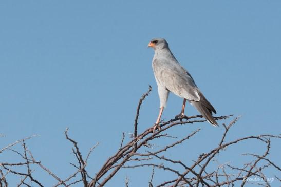 Pale-chanting Goshawk, Namibia.