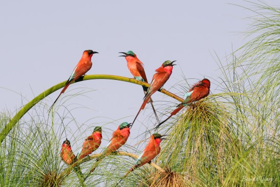 Southern Carmine Bee-eaters on Papyrus, Namibia.