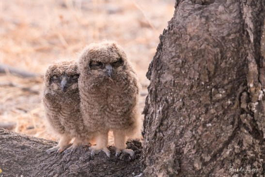 African Spotted Eagle Owl chicks, Namibia.