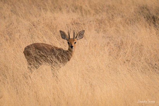 A common Duiker in the grass, Namibia, Africa.