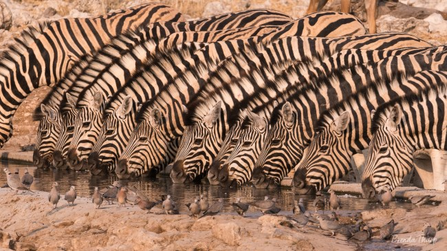 Zebras drink in a line at waterhole, Namibia.