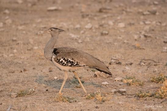 Strutting Kori Bustard, Namibia