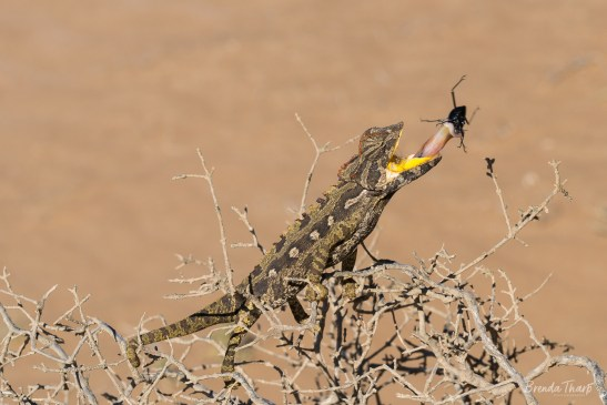Chameleon catching a beetle, Namibia.