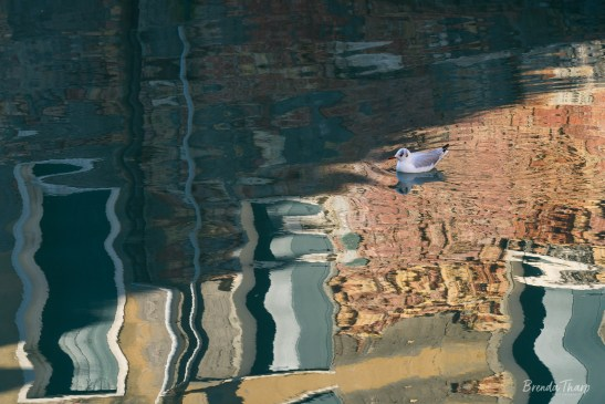 A gull swimming in canal, Venice.