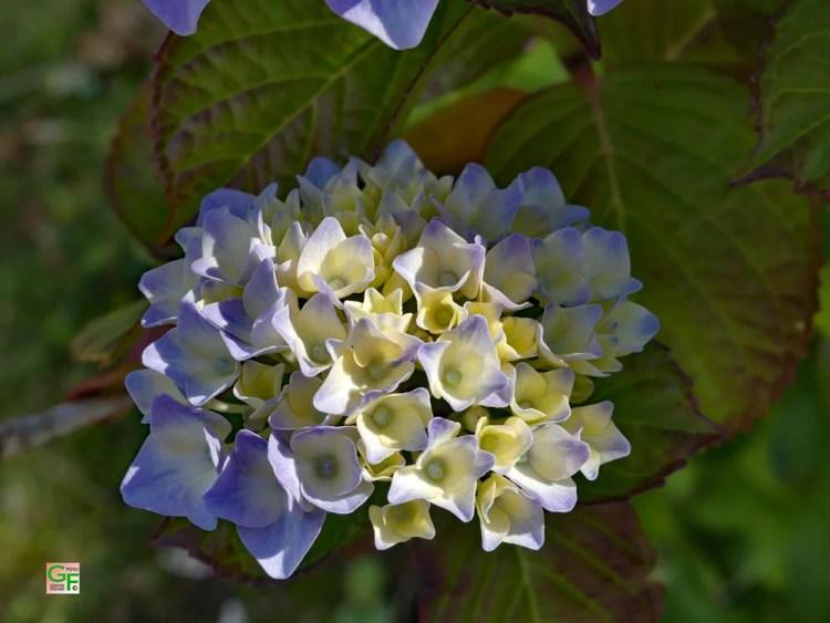 Blau-Gelbe Hortensie