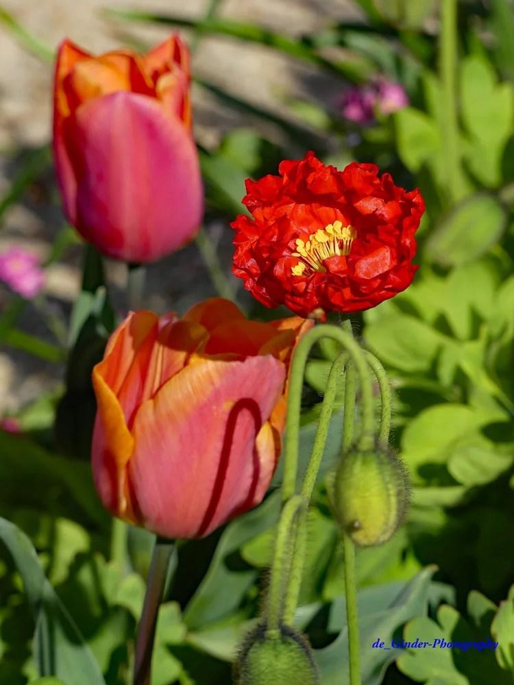 Mohn und Tulpen