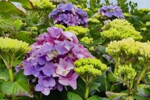 Hortensien-Blüten