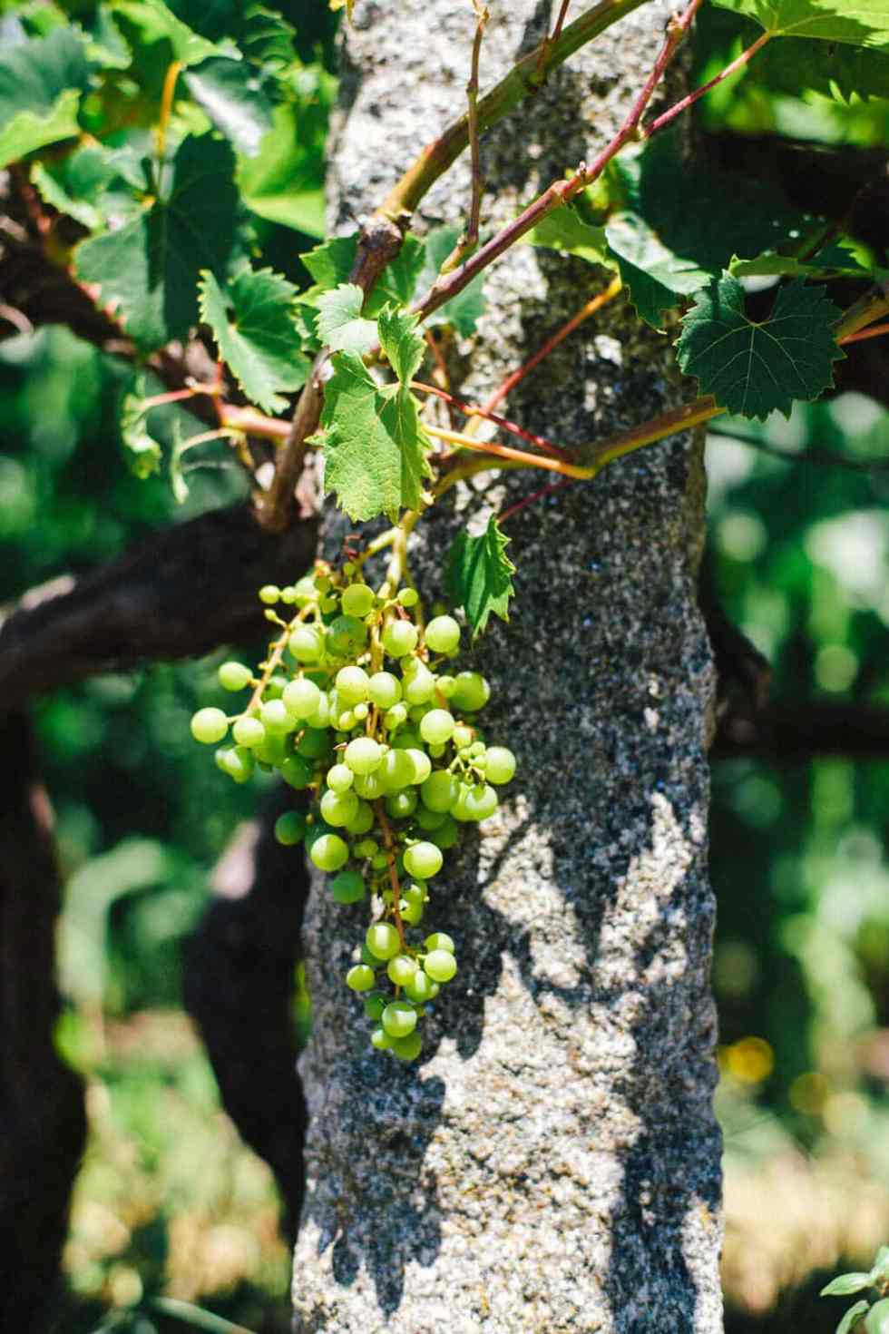 a bunch of green grapes hanging on a vine in bright sunlight