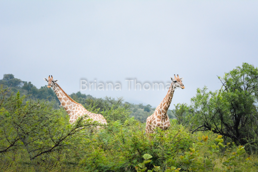 Here are a bunch of safari pictures from our time in Pilanesburg game reserve! Giraffe, elephants, wildebeest, and rhinos - up close and personal.