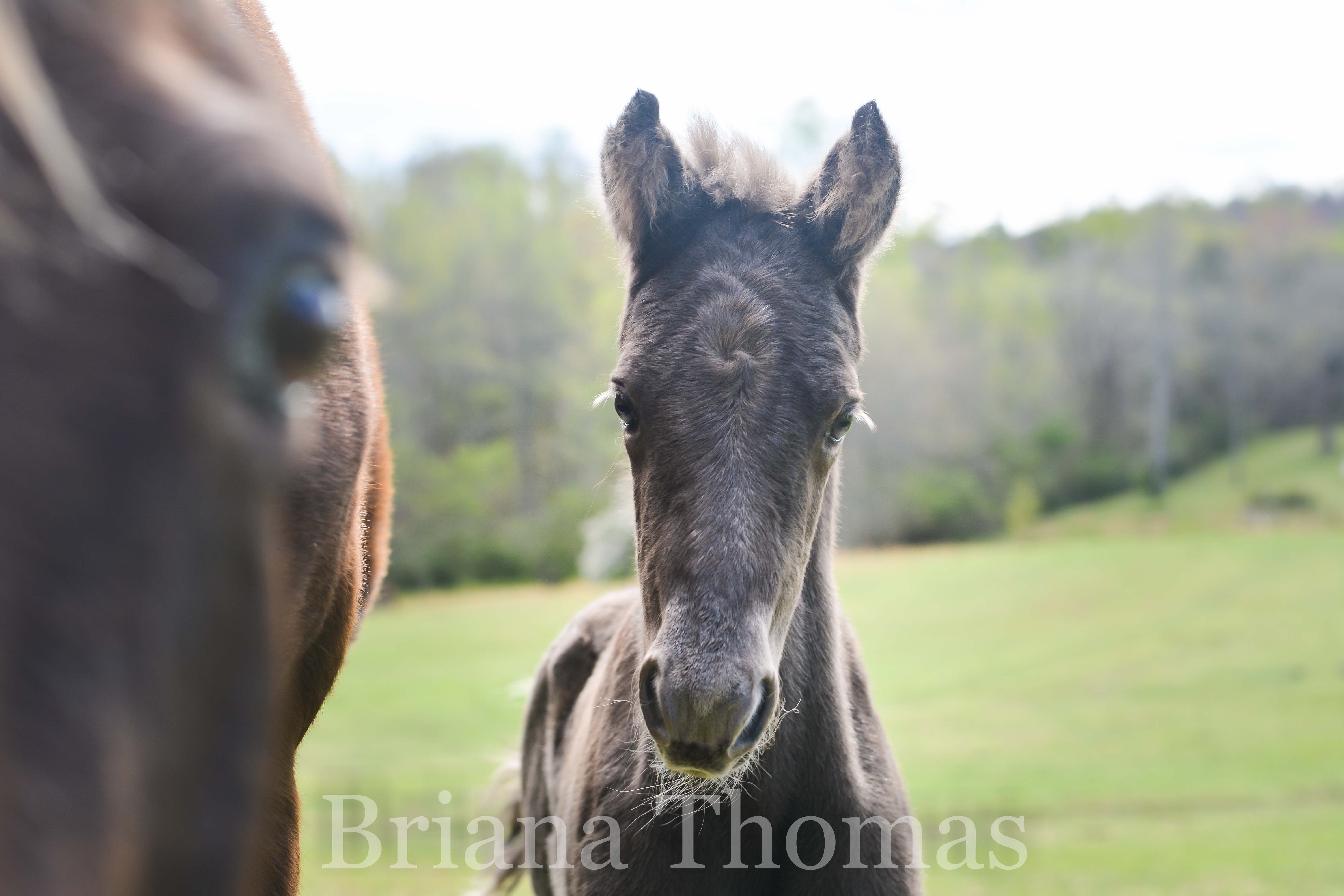 The first foal of 2017, Halal's Smoky Mountain Man, made his debut on April 4th. Rocky Mountain Man x Kilburn's Sundown Molley x Kilburn's Chocolate Sundown