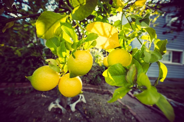 lemons and spider web | photograph by Brian J. Matis