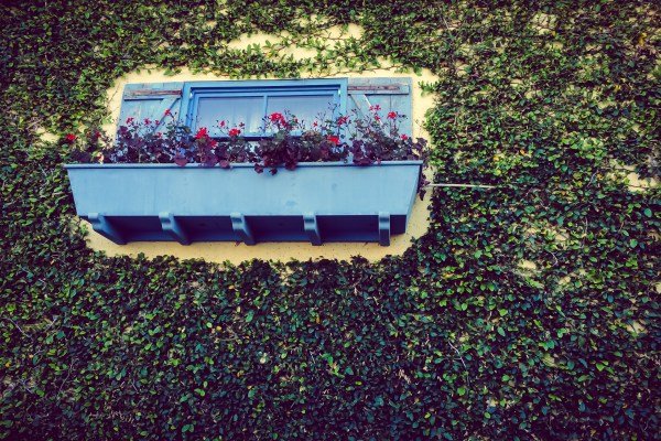 planter box and ivy | photograph by Brian J. Matis