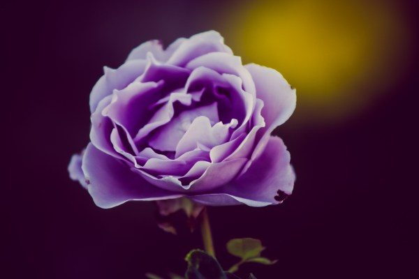 purple rose | photograph by Brian J. Matis