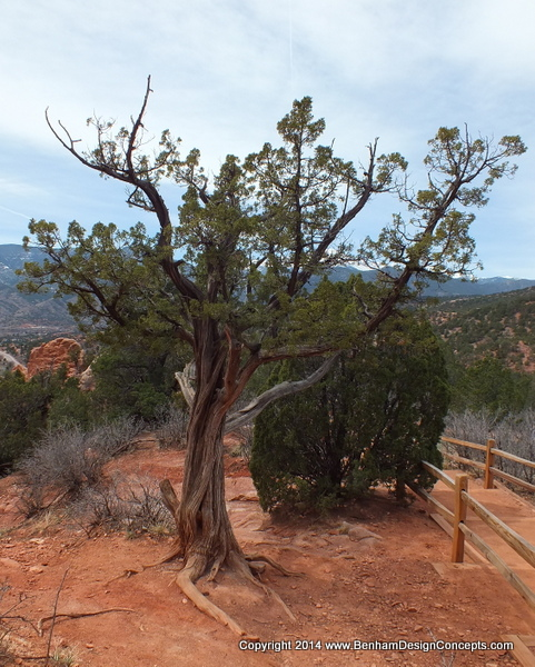Bonsai Tree at the Garden of the Gods
