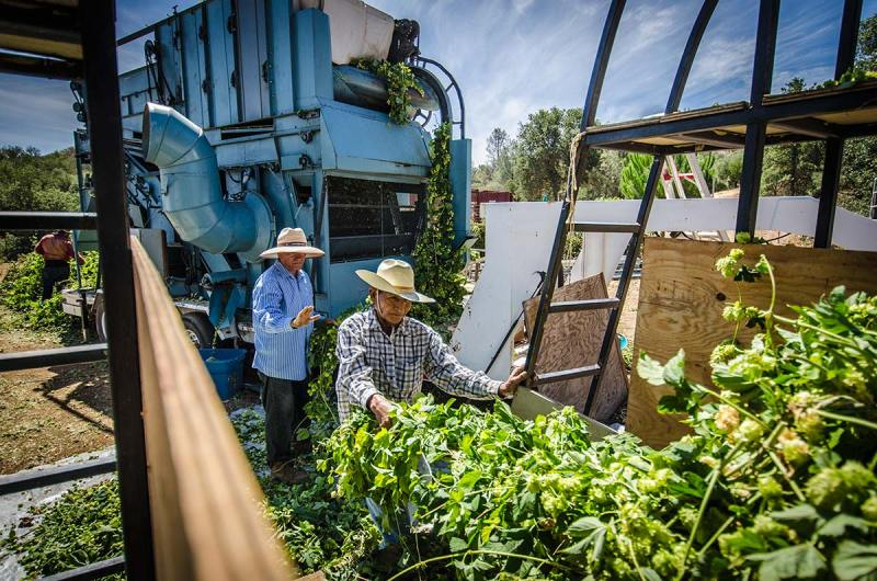Inside-the-Picker-Hops-Meister