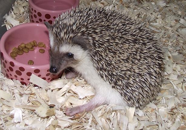 Image result for Feeding your hedgehog